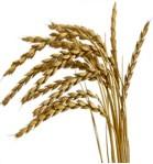 spelt-grain